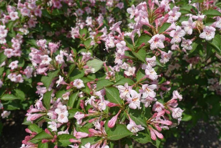 Weigela in full bloom