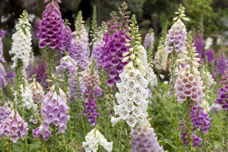 tall gardens toxic pets foxglove