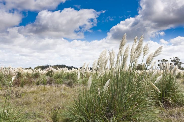 Pampas grass in the wild