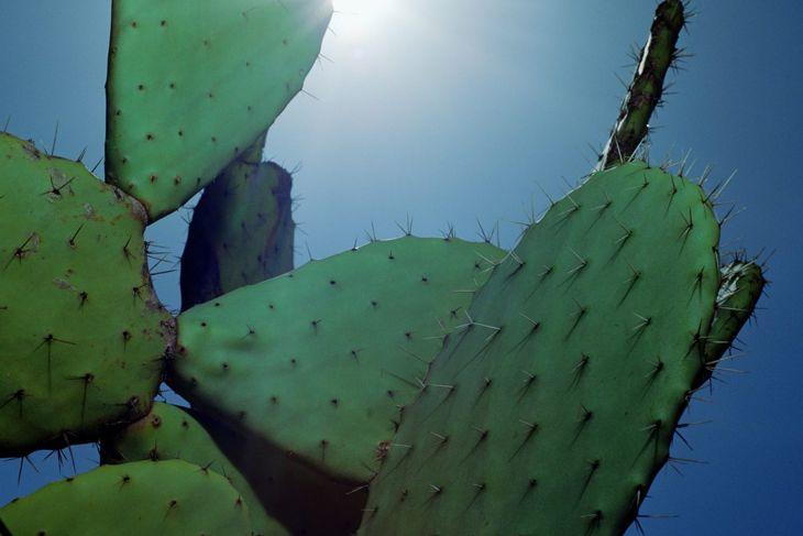 Prickly pear in the sun