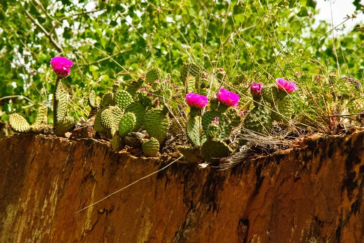 General prickly pear photo