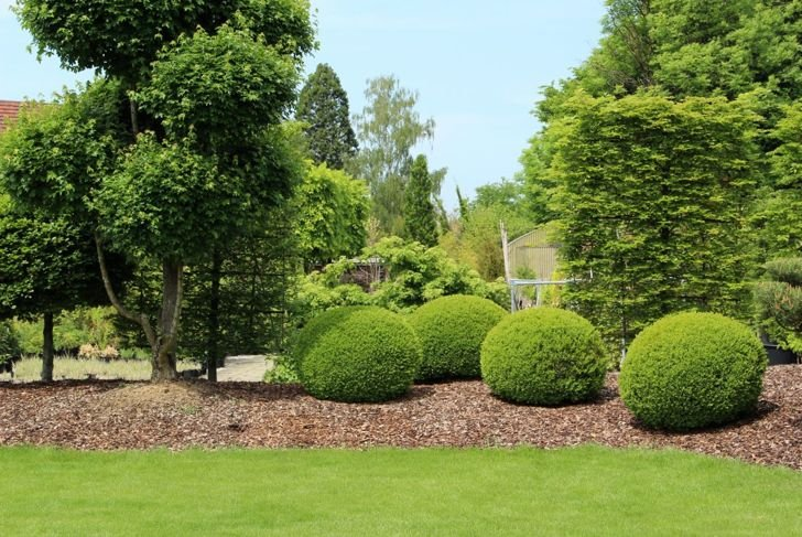 Grouping of boxwood shrubs