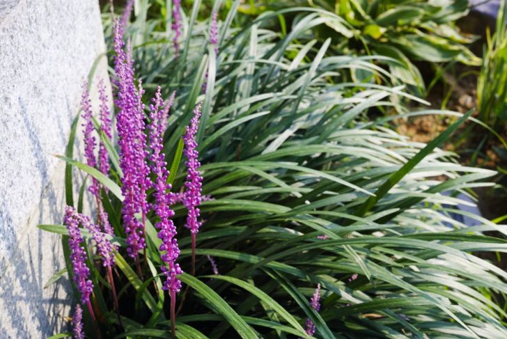 Liriope with hot pink flowers