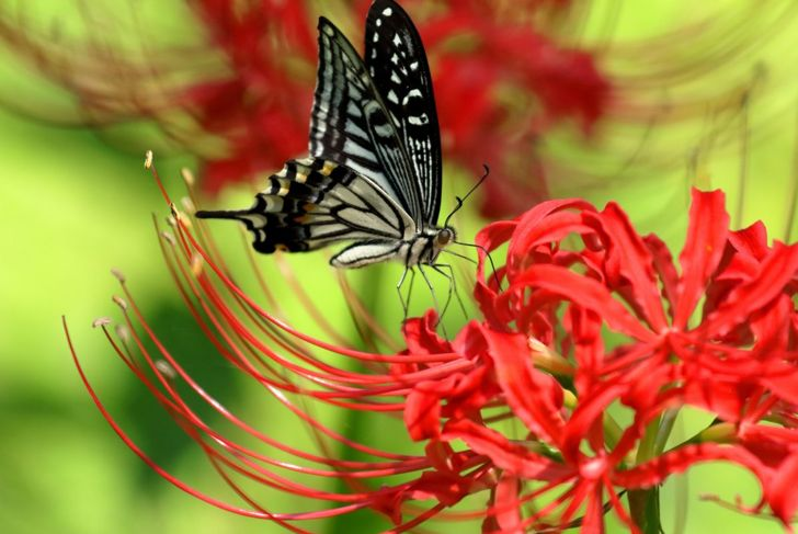 deer resistant butterflies lycoris