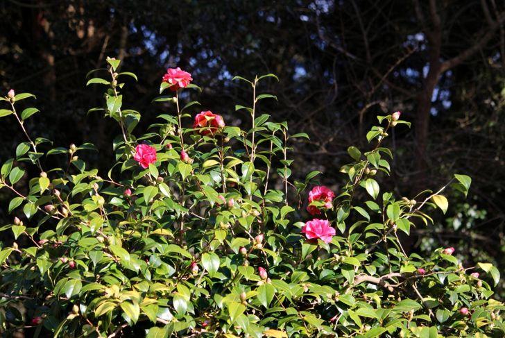 Camellia in woodland garden