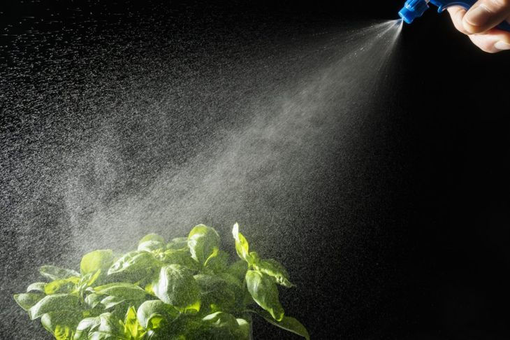 Spraying basil with a bottle