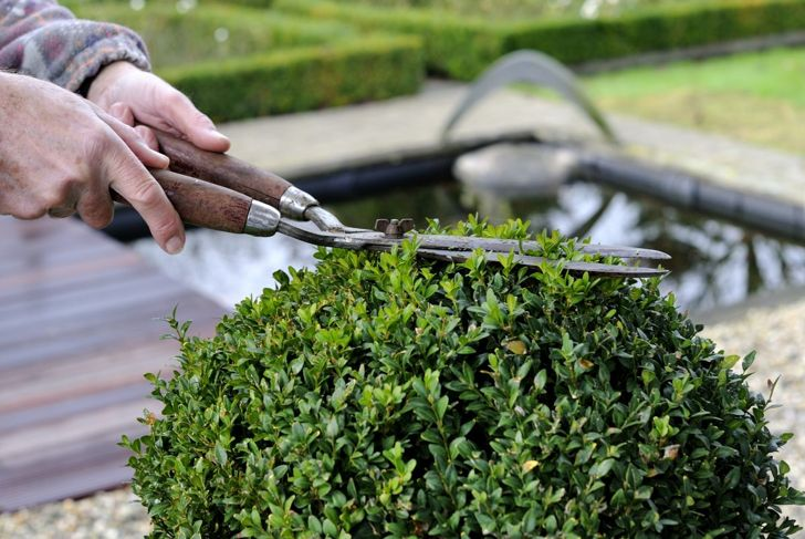 Pruning a boxwood