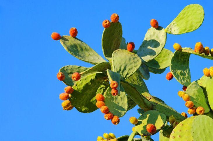 Fruit-bearing prickly pear
