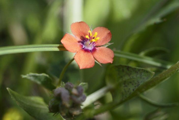 toxic scarlet pimpernel anagallis arvensis