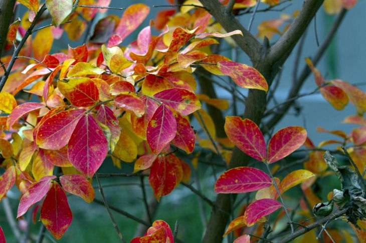 Autumn foliage of the crepe myrtle