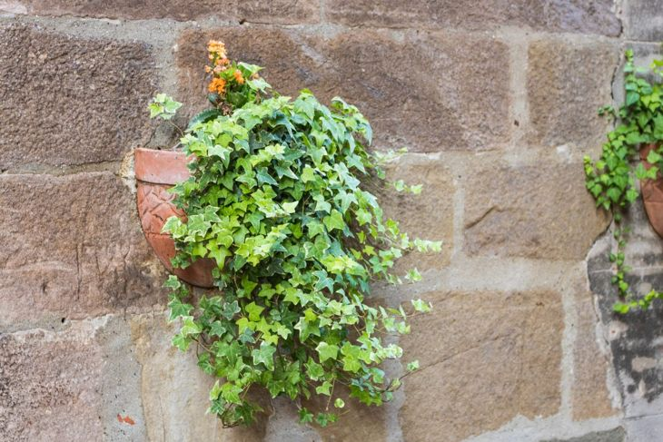 English ivy in a container
