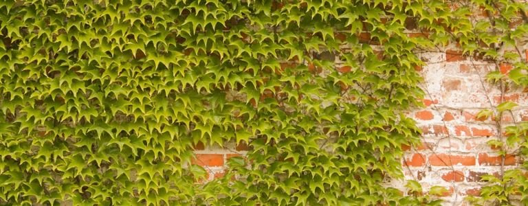 Plant Boston Ivy for that Ivy League Look
