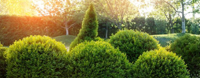 Adding Boxwood Shrubs to Your Garden