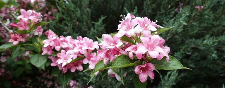Weigelas Add Low-Maintenance Color to Your Yard