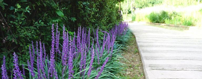 Growing Liriopes for Borders and Groundcover