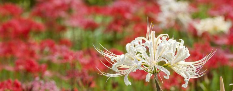 Spider Lilies: Showy, Gorgeous, and Easy to Grow