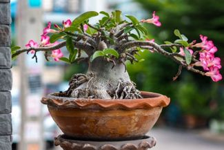 Growing the Dramatic Desert Rose