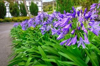 Dazzling Agapanthus Will Transform Your Garden