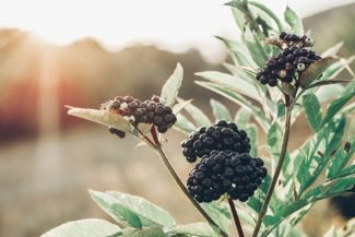 Respect Your Elders: Growing an Elderberry Plant