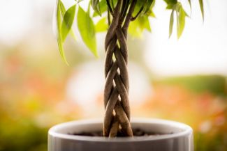 Growing and Caring for the Money Plant