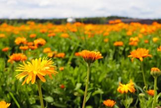 Growing the Low-Maintenance, Healthful Calendula