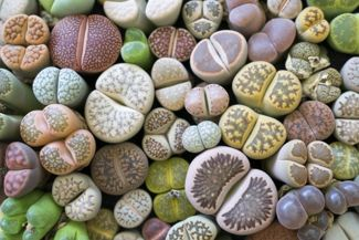 Adding Lithops To Your Succulent Garden