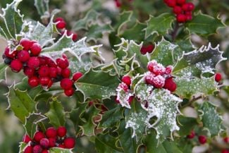 Adding Holly to Your Garden and Home