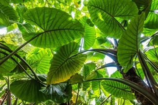 The Wide World of Elephant Ear Plants