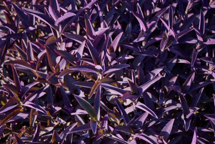 As a spreading plant, the purple heart can reach 8-12 inches in height, and will need at least a foot of room to grow.