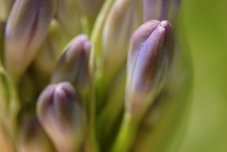 Slugs and snails are the most apt to attack your agapanthus.