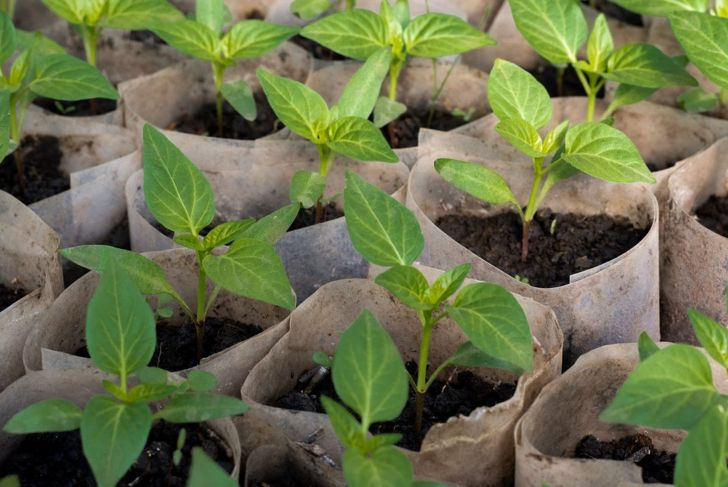 Young bell pepper plants