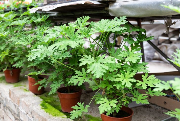 Easily propagate your citronella by burying a connected shoot into adjacent soil.