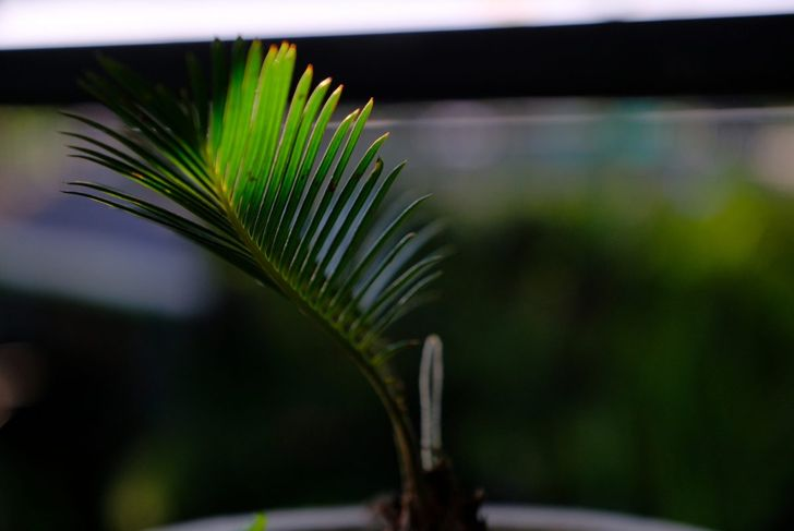 ponytail palm cutting