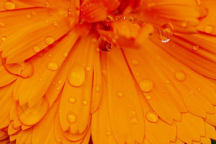 Water on calendula leaves