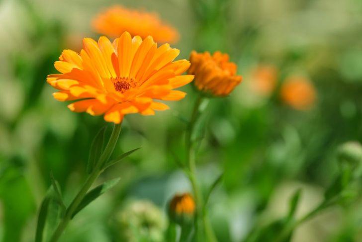 Healthy calendula flower
