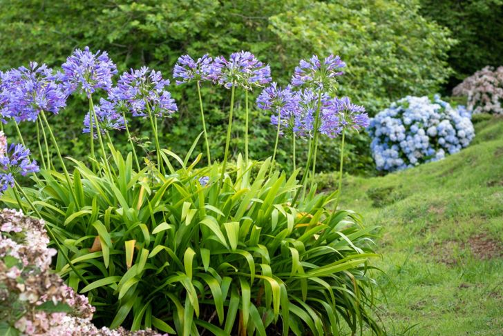 The agapanthus prefers a balanced diet of nitrogen and phosphorus.