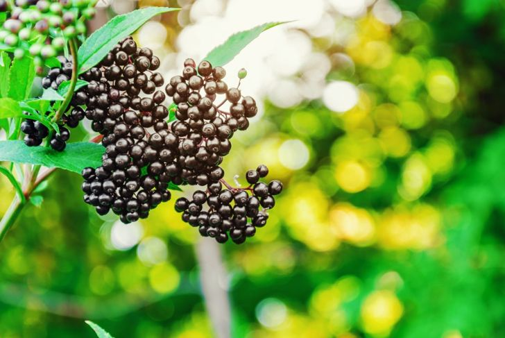 Shear off the abundant cluster of berries once the majority have reached a deep purple color, or the birds will get them first.