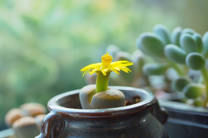 Lithops in sunny window