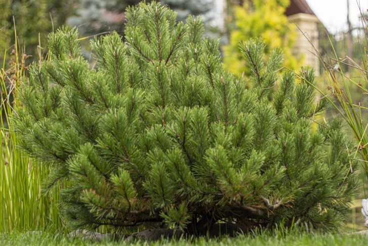 Short and stout, the Mugo pine is an excellent choice for ground cover.