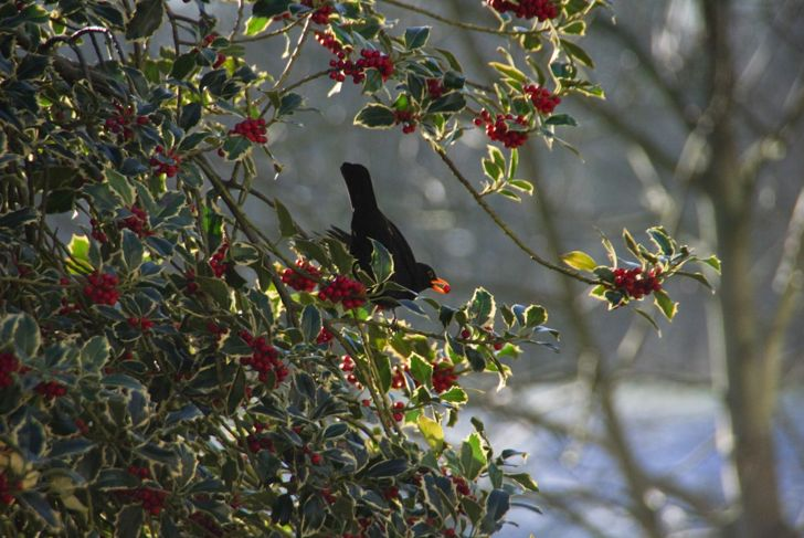 Bird with holly berry in holly plant