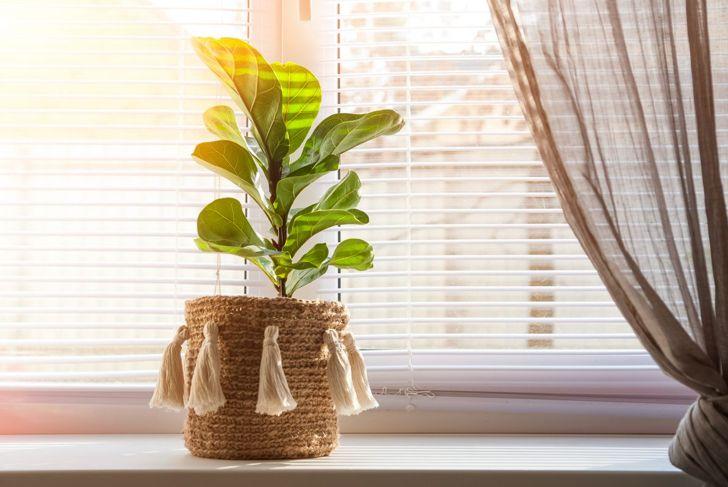 Fiddle leaf fig in decorative pot