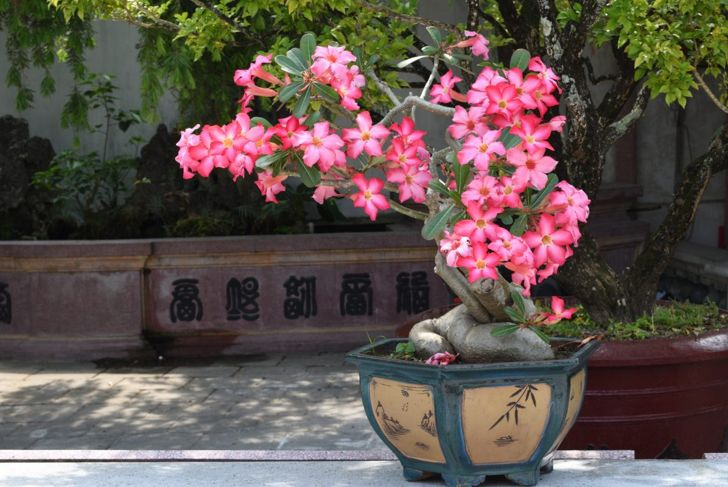 Preferring a desert atmosphere, the desert rose will flourish most indoors surrounded by gritty soil.