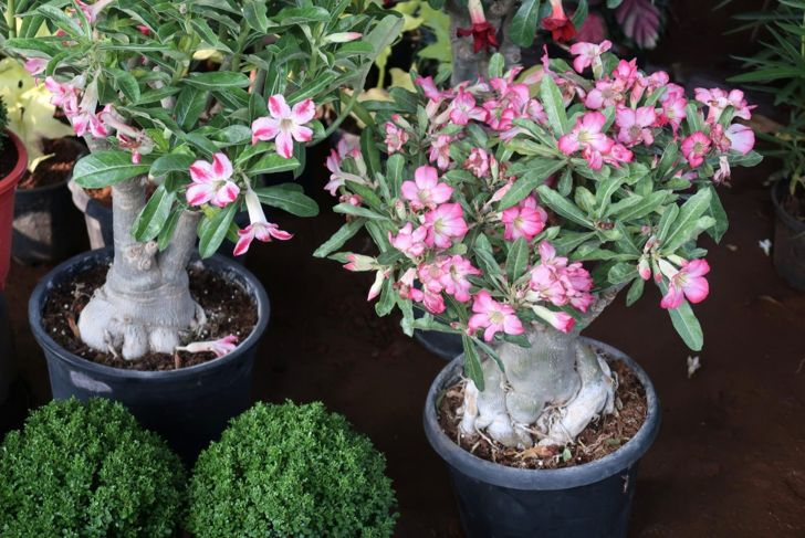 The desert rose can be divided out from smaller branch cuttings.