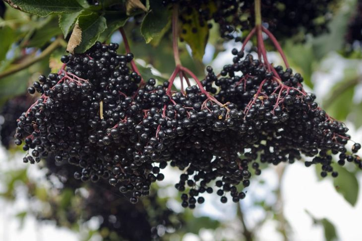 An acidic pH and thoroughly aerated root system are all your elderberry plant needs to thrive.