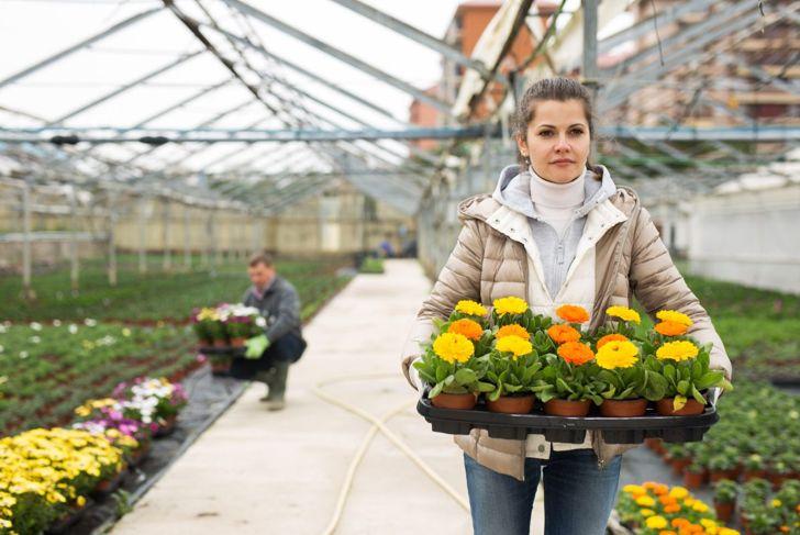Florist growing calendulas