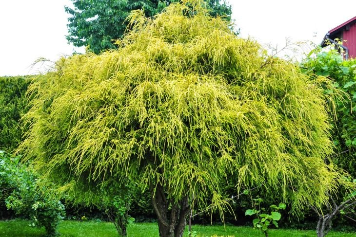 At a maximum height of six feet, the low-maintenance dwarf Hinoki is much smaller than its related species.