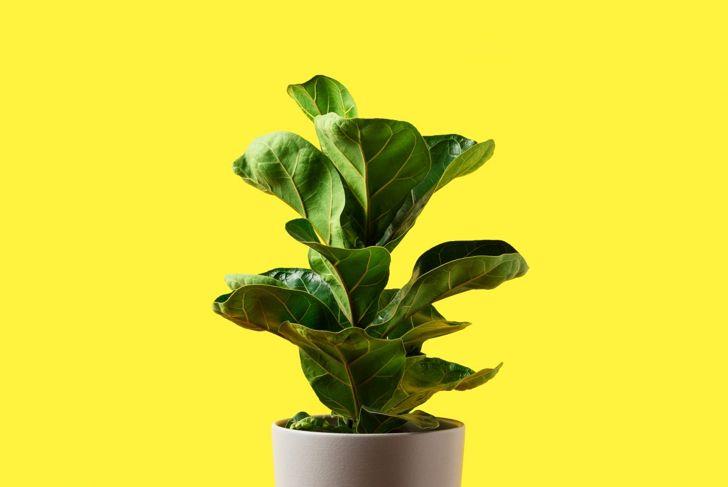 Fiddle leaf fig in pot