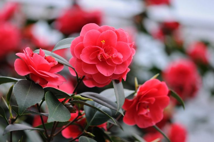The elegant yet exotic flowers of the camellia plant have stood the test of time.