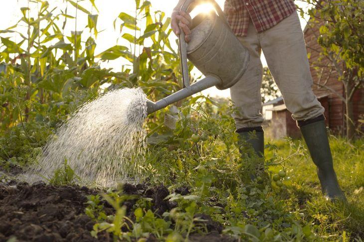 Man watering a vegetable garden