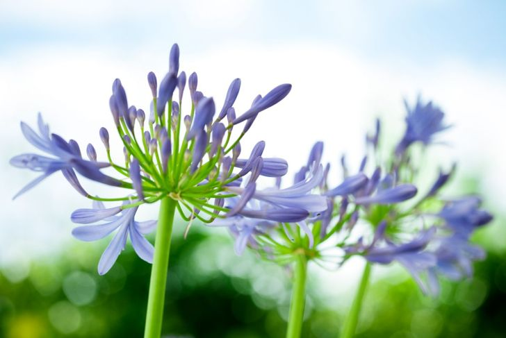True to its name, the African lily prefers warm and sunny climes.
